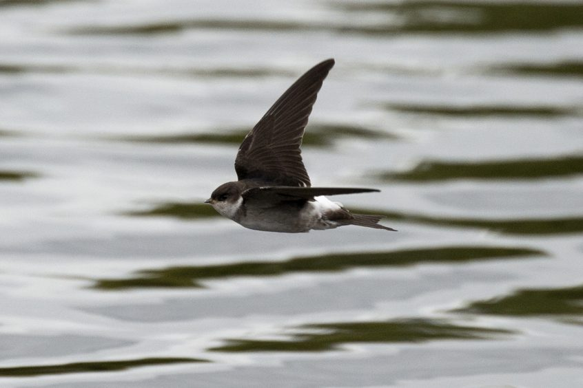 House Martin, Stoke Lake, Guildford, 29/08/20 (J Sellen)
