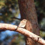 Spotted Flycatcher, Frensham Little Pond (T Ballard).