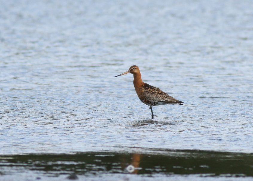 Black-tailed Godwit, 21/07/20 (D Harris)