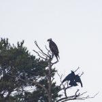 Osprey, Thursley Common (E Stubbs).