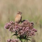 Whinchat, Shalford Water Meadows (S Chastell).