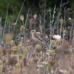 Whinchat, Priest Hill (I Rowe).