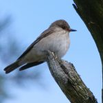 Spotted Flycatcher, Leith Hill (M Davis).