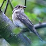 Spotted Flycatcher, Rotherhithe (R Page-Jones).