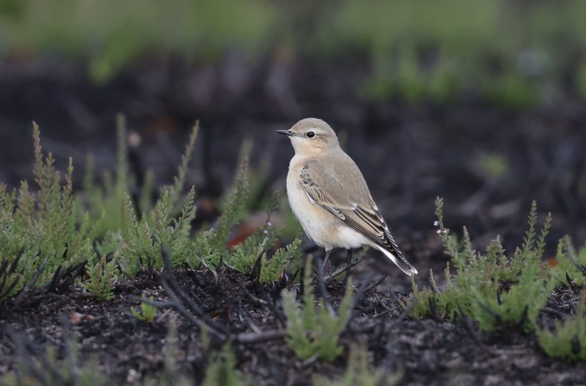 Wheatear, Thursley Common, 07/10/20 (D Brassington)