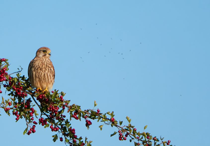 Kestrel, Farlington Marshes, 13/09/20 (C Albanese)(SBC field trip)