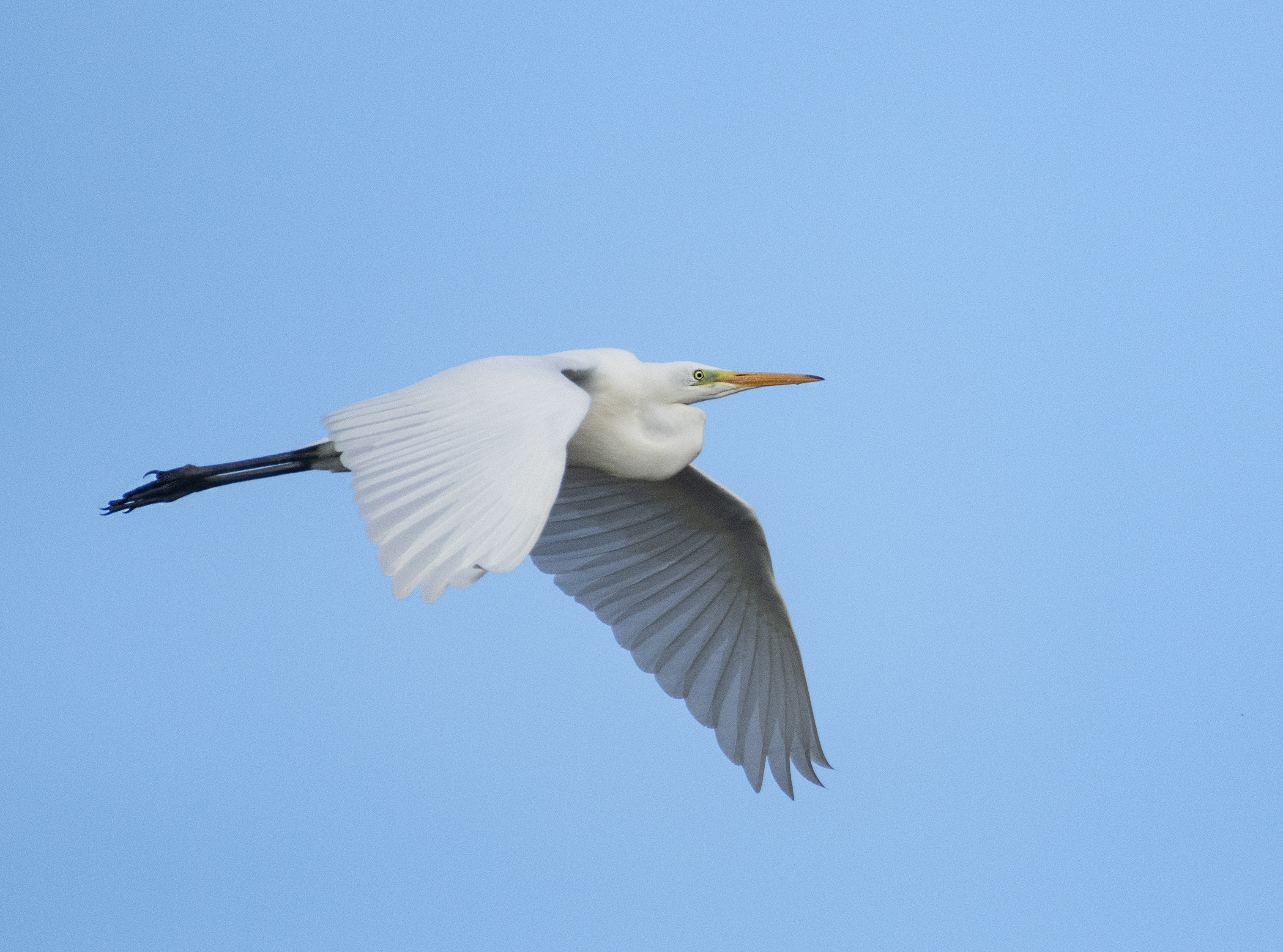 Great Egret, Tice's Meadow, 01/08/20 (E Stubbs)
