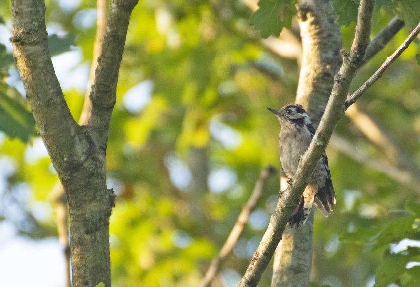 Lesser Spotted Woodpecker (E Stubbs)