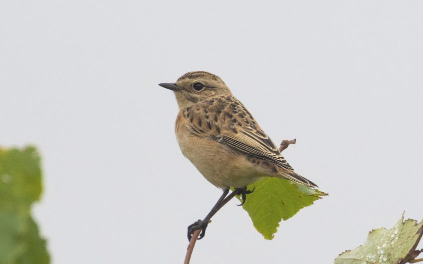 Whinchat, Shackleford, 15/08/20 (E Stubbs)