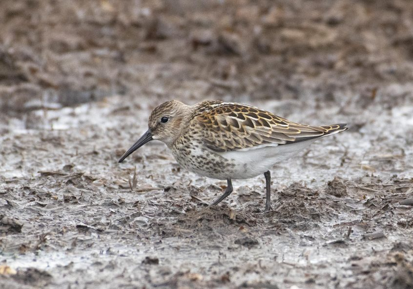 Dunlin, Shackleford, 29/08/20 (E Stubbs)