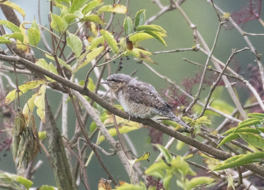 Wryneck, Shackleford, 02/09/20 (E Stubbs)