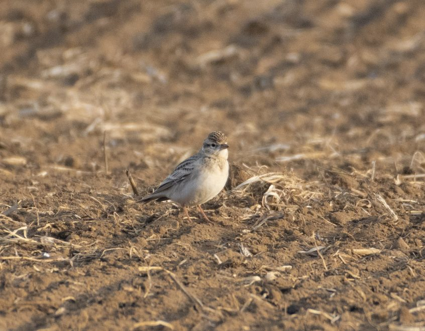 Short-toed Lark, Shackleford, 19/09/20 (E Stubbs)