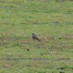 Black Redstart, Rushmoor (M Fincham).