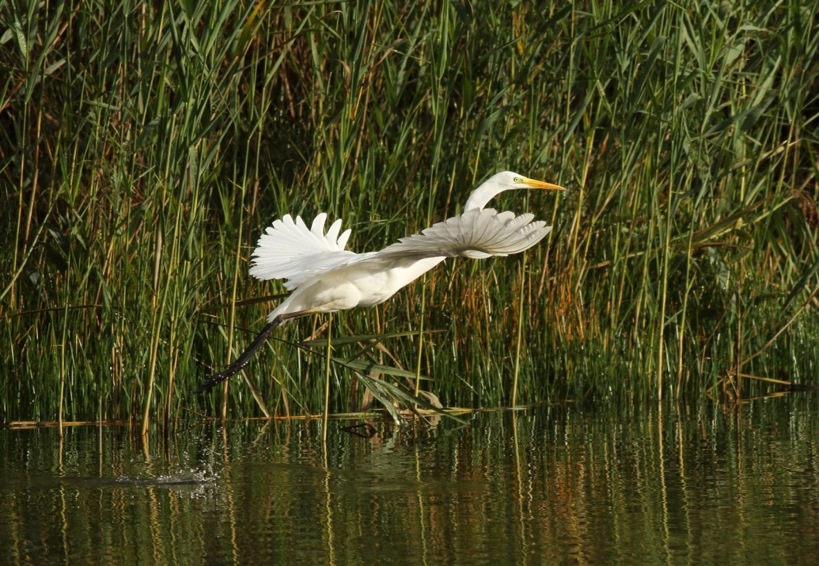 Great Egret, Molesey Heath (D Harris).