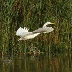 Great Egret, Molesey Heath (D Harris).