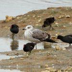 Caspian Gull, Beddington Farmlands (A Dutta).