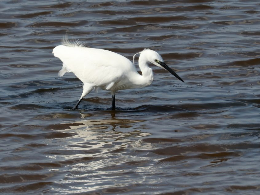 Little Egret, Farlington Marshes, 13/09/20 (F Boxell)(SBC field trip)
