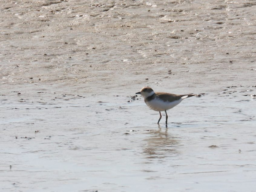 Little Ringed Plover, Farlington Marshes, 13/09/20 (F Boxell)(SBC field trip)