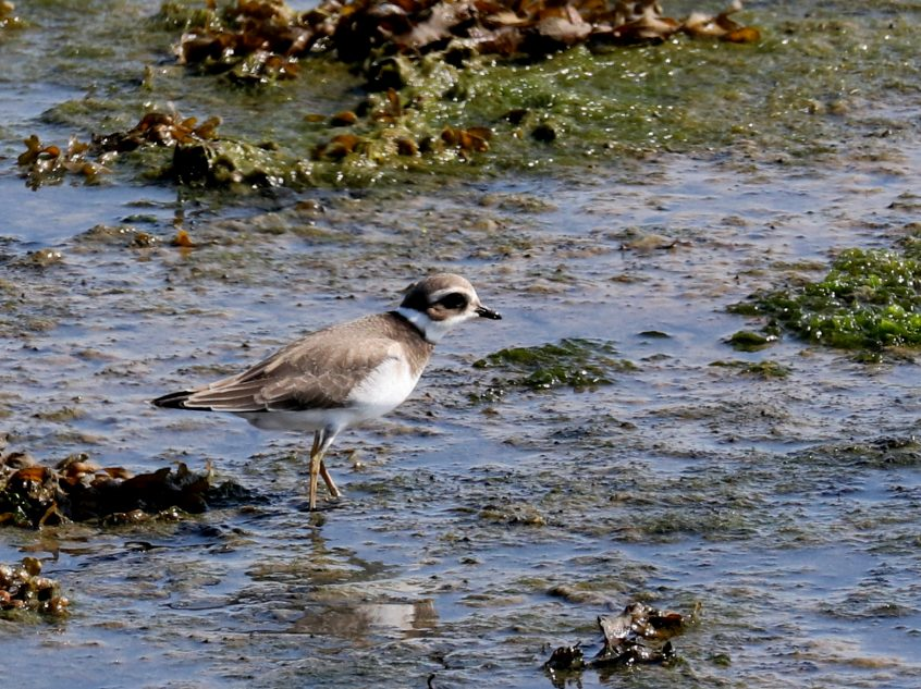 Ringed Plover, Farlington Marshes, 13/09/20 (F Boxell)(SBC field trip)