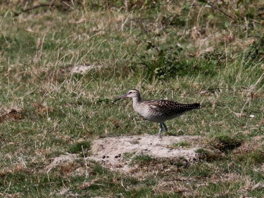 Whimbrel, Farlington Marshes, 13/09/20 (F Boxell)(SBC field trip)