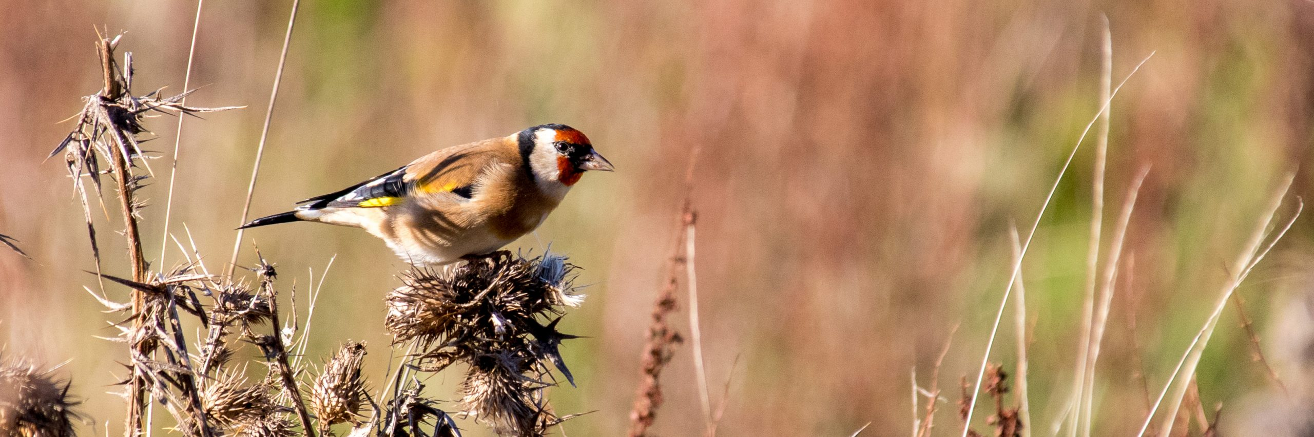 Goldfinch (J Drewett)