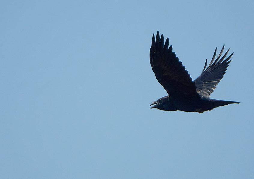 Raven, Farlington Marshes, 13/09/20 (C Albanese)(SBC field trip)