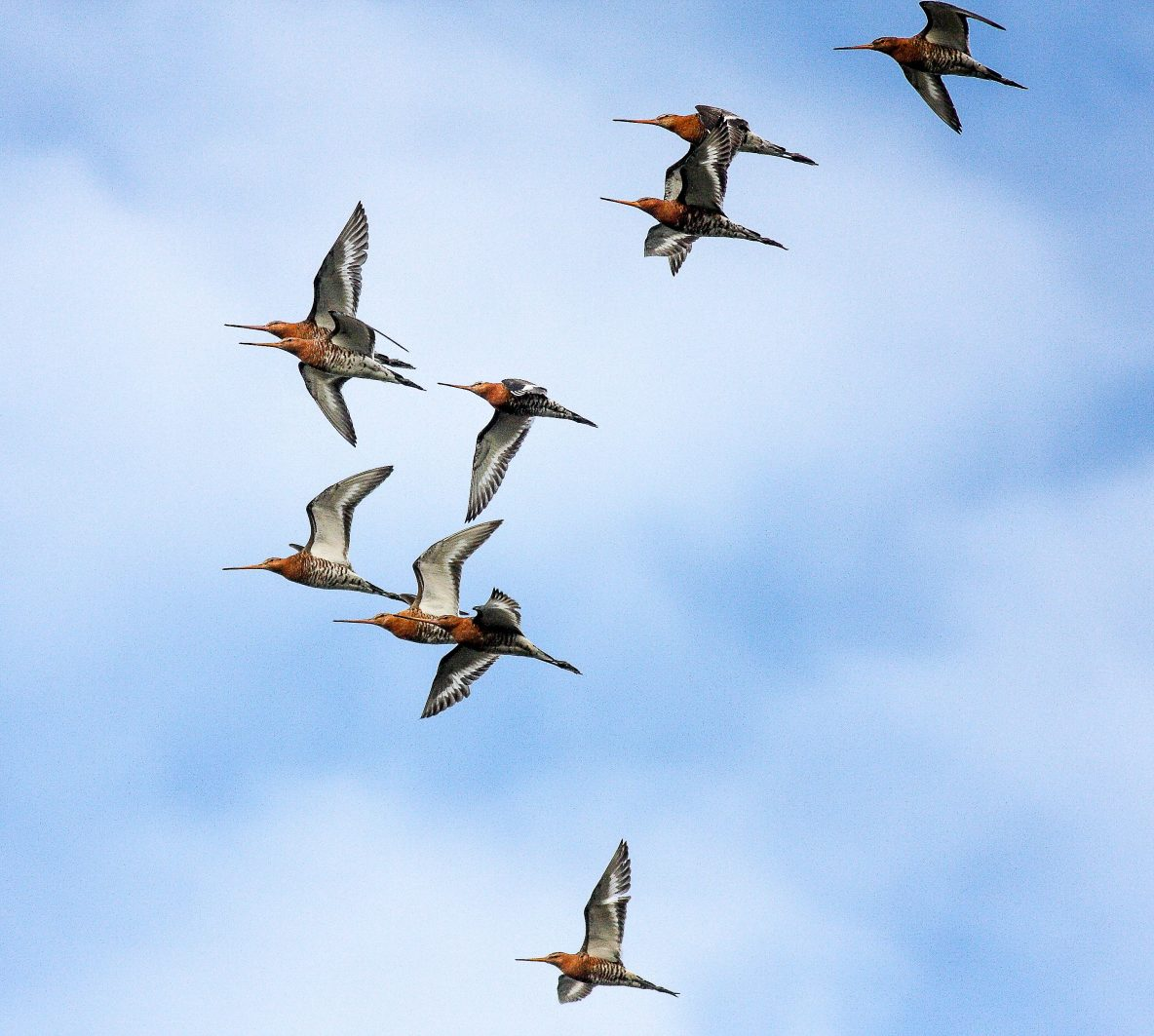 Black-Tailed Godwits, Dave Harris