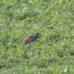 Grey Partridges, Shackleford (E Stubbs).