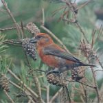 Crossbill, Thursley Common (M Leitch).