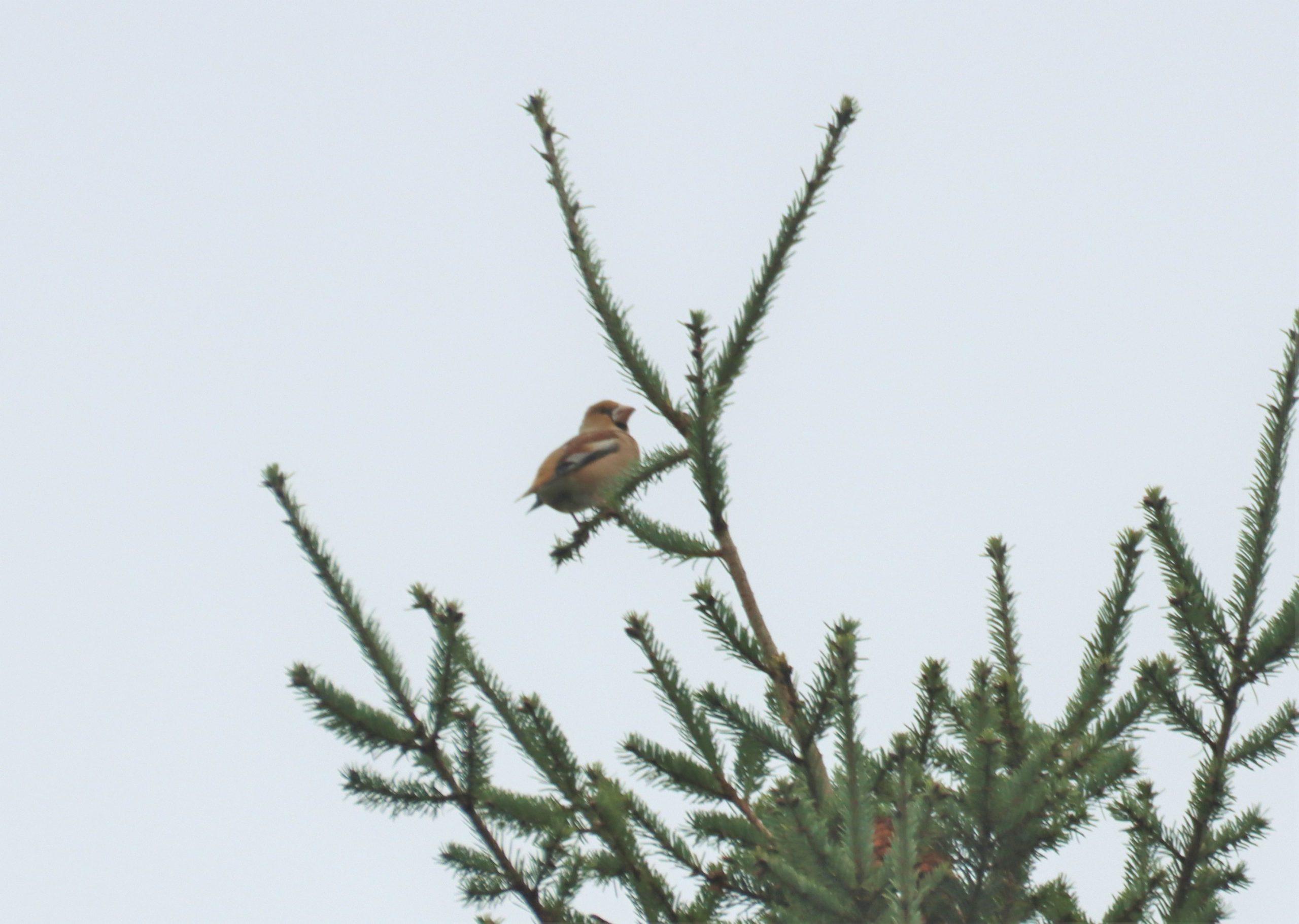 Hawfinch, Effingham Forest (M Fincham).