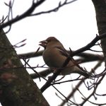 Hawfinch, Effingham Forest (D Young).