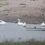 Bewick's Swans, London Wetland Centre (J Klavins).