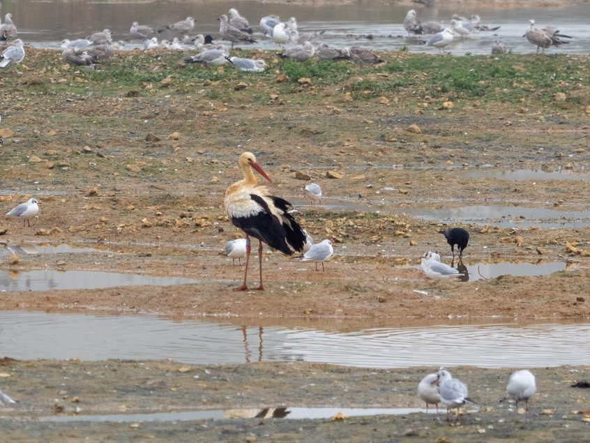 White Stork, Beddington Farmlands, 05/11/20 (J Drewett)