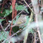 Yellow-browed Warbler, Molesey Heath (S Ferguson).