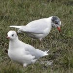 Mediterranean Gull, Clapham Common (N Rutter).