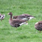 White-fronted Geese, Betchworth (S Ferguson).