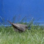 Black Redstart, Cranleigh (L Toolan).