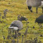 Brent Goose, Tice's Meadow (D Burford).