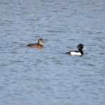 Ring-necked and Tufted Ducks, Holmethorpe SP (G Hay).