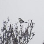 Great Grey Shrike, Thursley Common (E Stubbs).