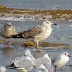 Caspian Gull, Beddington Farmlands (S Ferguson).