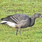 Brent Goose, Tice's Meadow (J Hunt).