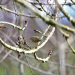Yellow-browed Warbler, Molesey Heath (D Spragg).