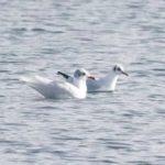Mediterranean Gull, Papercourt GP (E Sames).