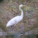 Great Egret, Westcott (M Davis).