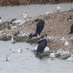 Oystercatcher, London Wetland Centre (J Klavins).