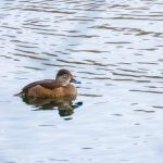 Ring-necked Duck, Mercers CP (A Kundrotas).