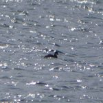 Black-necked Grebe, Tice's Meadow (D Burford).