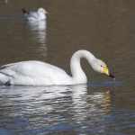 Whooper Swan, Earlswood Lakes.