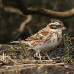 Rustic Bunting, Thursley Common (M Leitch).